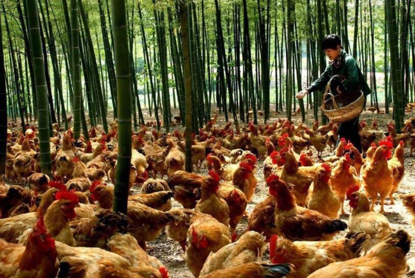 养鸡概念股有哪些?养鸡