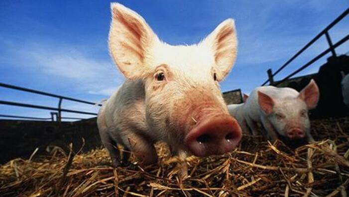 非洲猪瘟概念股有哪些?猪肉概念股上市公司一览